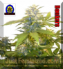 Next Generation Bonkers Regular 5 Ganja Seeds